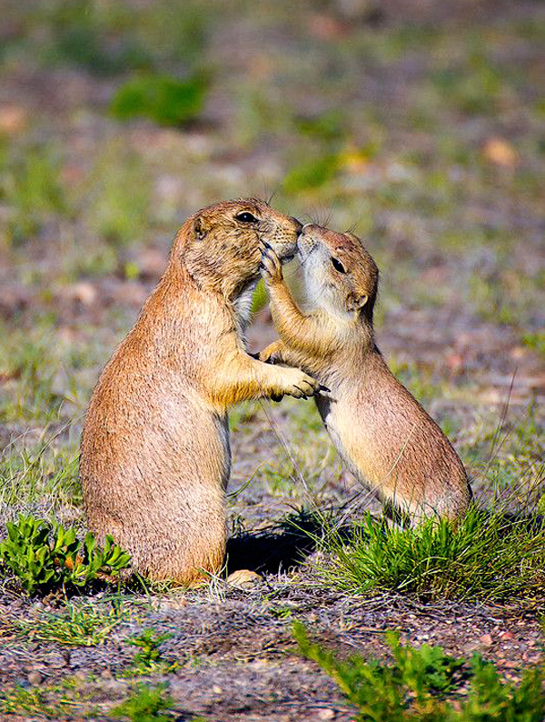 Black-tailed Prairie dogs show affection in Colorado